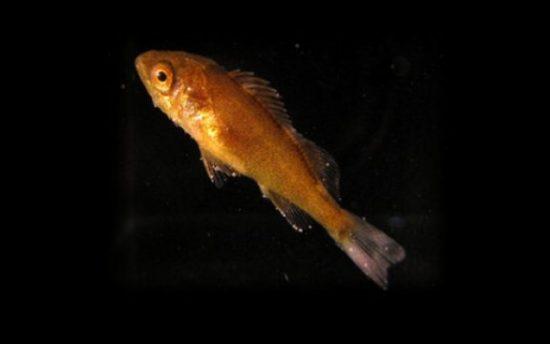Juvenile_splitnose_rockfish_c_Daniel_Ottmann