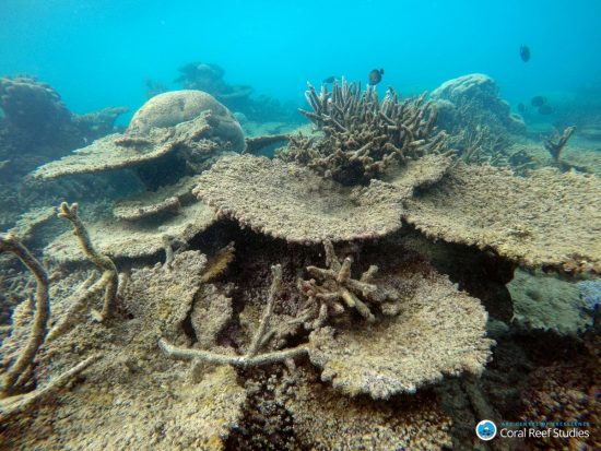 Dead table corals killed by bleaching,  Northern GBR, Nov 2016_Bildgröße ändern