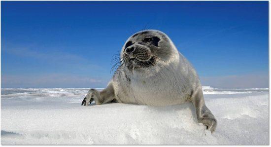 Baikal-seal-550x298