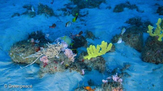 "Images of the Amazon Reef taken from a submarine launched from the MY Esperanza. The Greenpeace ship is currently in the region of the Amazon river mouth, Amapá State, for the ""Defend the Amazon Reef"" campaign.  A team of experts are onboard, including the scientist from the Federal University of Rio de Janeiro, Fabiano Thompson and Kenneth Jozeph Lowick, from Greenpeace Belgium. Thompson led the group of scientists who discovered the coral reef at the mouth of the Amazon River.