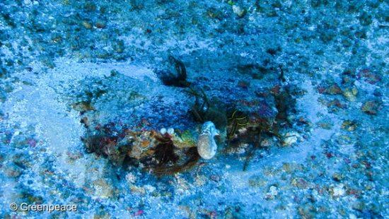 """Reefs made by fused rhodoliths, with brittle stars. Esperanza, one of the three Greenpeace vessels, is in the region of the Amazon river mouth, Amapá State, for the campaign """"Defend the Amazon Reef"""". Recife mancha, formado por rodolitos fusionados, com lírios-do-mar. No centro, há uma esponja. Esperanza, um dos três navios do Greenpeace, está na região da foz do rio Amazonas, no Amapá, para a campanha """"Defenda os Corais da Amazônia. O objetivo é observar debaixo d'água, pela primeira vez, os recifes de corais."""