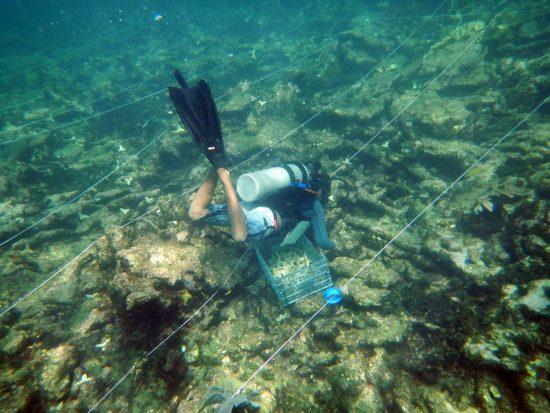 9 seeding corals along the line Sandra Mendoza Quiroz