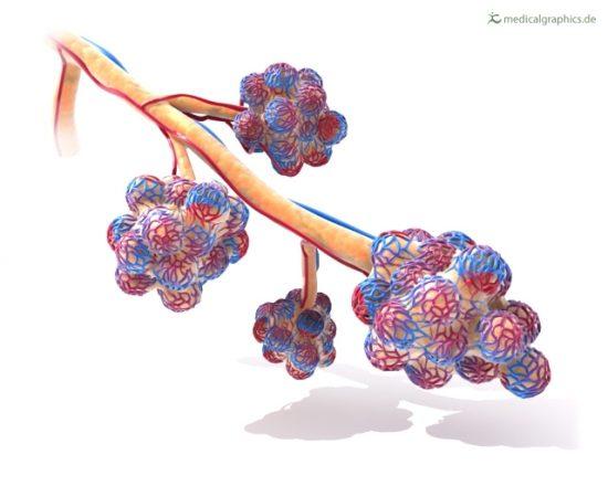 Bronchiole mit Lungenblaeschen (Alveolen), Alveolargang (Ductus alveolaris), Alveolarsaeckchen (Sacculi alveolares).