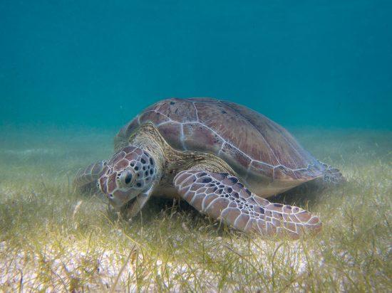 Gruene-Meeresschildkroete