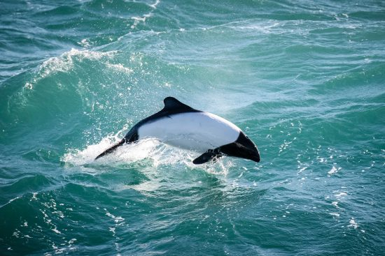 Commerson's dolphin (Cephalorhynchus commersonii). Seen from the Greenpeace ship the Arctic Sunrise on the way to the Antarctic.