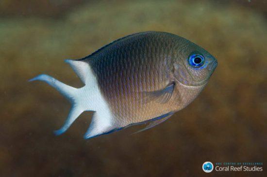 Acanthochromis MG_2706 Joao Krajewski_web_klein