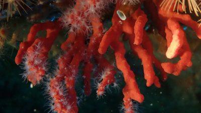 Koralle_2