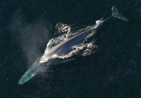 Bluewhale_NOAA_Gemeinfrei_klein