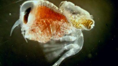 Der Flohkrebs Hyperiella antarctica einer Flügelschnecke (Spongiobranchaea) Huckepack