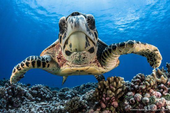 Turtle, French Polynesia, Moorea