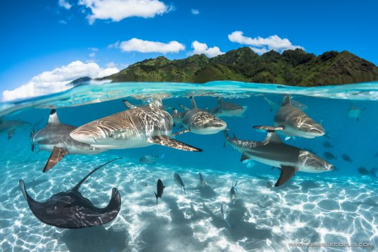 Sharks and Rays in the lagoon of Moorea