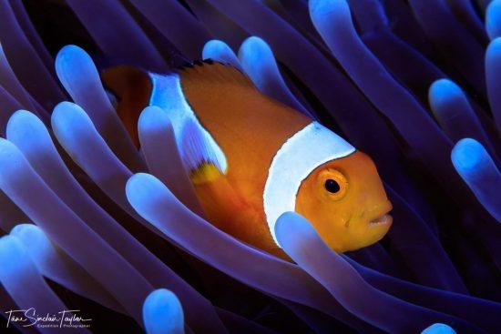 clownfish_01