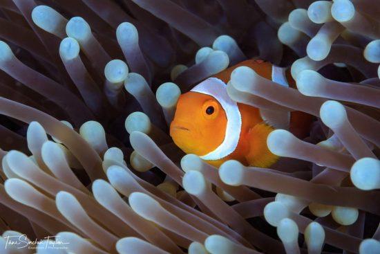 clownfish_02