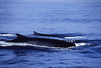 Finnwale