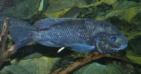 Oreochromis_squamipinnis_c_Haplochromis