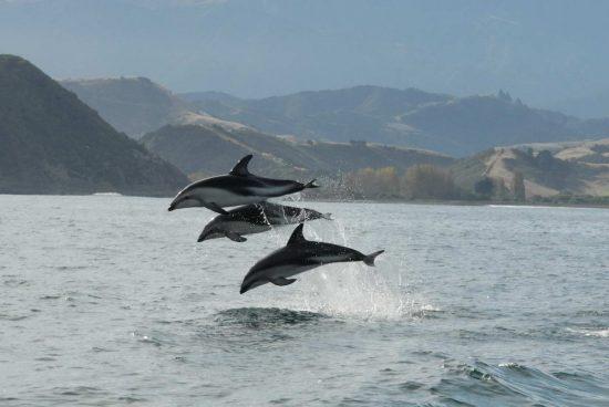 Dusky dolphins jumping NOAA