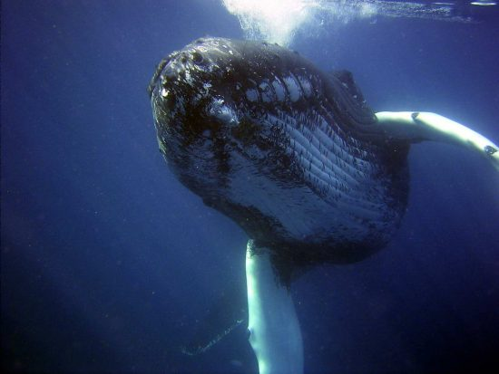 Humpback whale 2 - NOAA Photo Library