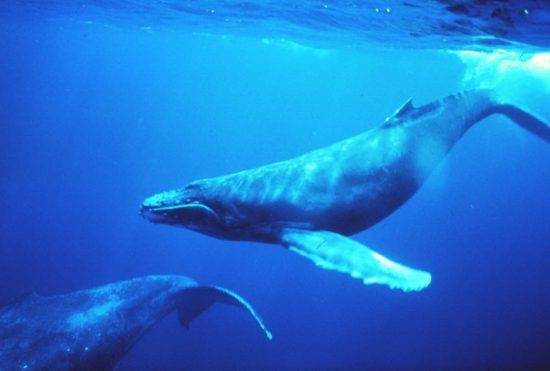 Humpback_whales_in_singing_position_klein