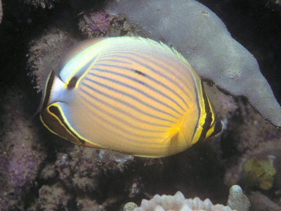 Pazifischer_Rippenfalterfisch_c_BernardP