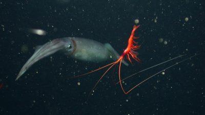 Zombie Shrimp Petalidium-shrimp-dosidicus