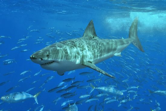 White_shark_c_Wikipedia_Terry_Goss