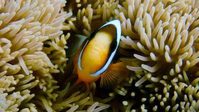 Anenome fish 1