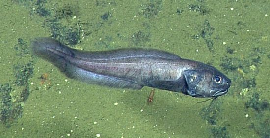 Cusk-eel-D737-2-640x327