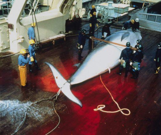 Whaling16_c_Mark Votier_klein