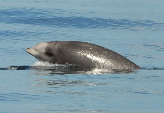 beaked-whale-friedlani-crop_klein