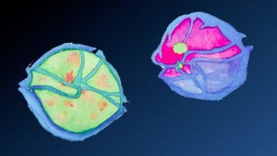 Watercolour painting: A healthy Alexandrium (right) and Alexandrium infected by the parasite Amoebophrya (left).Aquarellbild eines gesunden Dinoflagellaten Alexandrium (links) und eines von Amoebophrya befallenen (rechts).