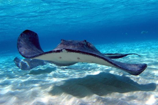 A beautiful Stingray which can you see in this Dive Destinations