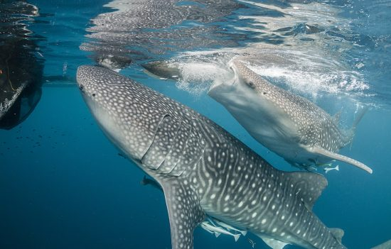Experience the incredible feeling of whale sharks at this dive destination