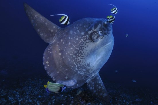 A sunfish in the ocean.