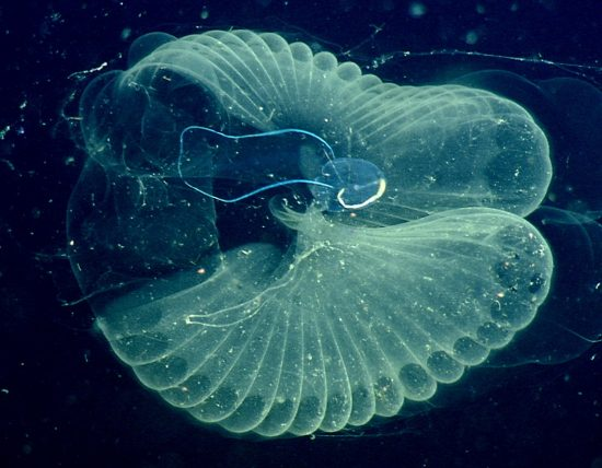 "Close up view of a ""giant larvacean"" (blue tadpole-like animal) and its ""inner house"" (a mucus filter that the animal uses to collect food)"