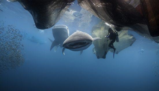 Whale shark feeding below a floating fishing platform, Cenderawasih Bay, West Papua, Indonesia.