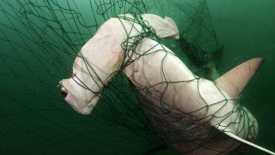 Scalloped Hammerhead shark (Sphyrna lewini) caught in gill net, off Santa Rosalia, Gulf of California, Mexico.