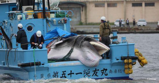 Japan-whale-landing