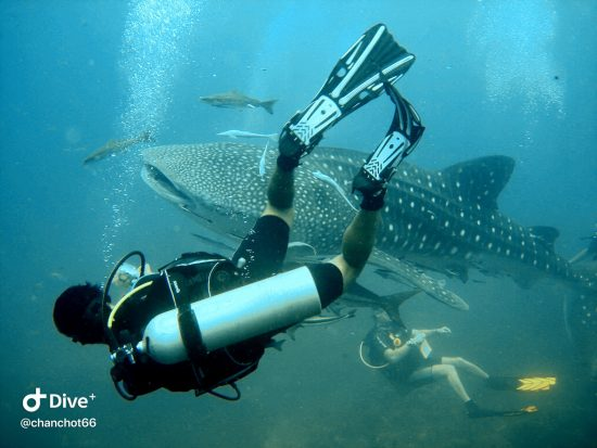 Dive Sote of the Month - Sail Rock Whale Shark