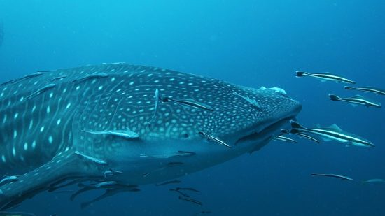 Whales Sharks, amazing underwater creatures, can be seen at Chumphon Pinnacle