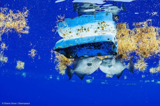 """Trigger fish are visible with plastic debris among Sargassum in the Sargasso Sea.  The Greenpeace ship MY Esperanza is on an expedition in the Sargasso Sea, a unique region in the North Atlantic Ocean that is home to a diverse array of marine life, including loggerhead and green sea turtles.  The journey, part of the """"Protect the Oceans"""" year long tour, will see Greenpeace and University of Florida researchers team up to study the impact of plastics and microplastics on marine life and the importance that the Sargasso's drifting Sargassum seaweed habitat has for the development of juvenile sea turtles."""