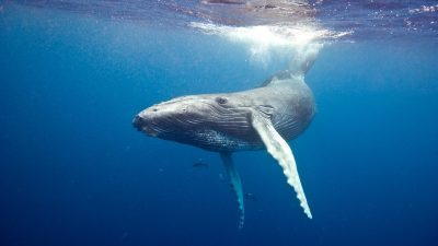 Diving with whales - Humpback whale underwater in Caribbean