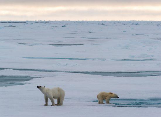 Isbjørner på sjøisen på Svalbard 2018-08-17_klein