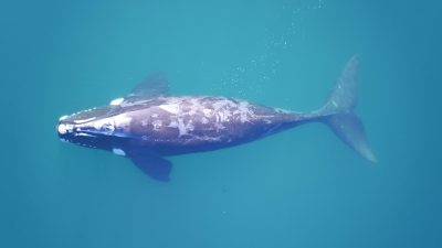 WEB-subadult-southern-right-whale-surfacing-in-clear -water-in-Peni?nsula-Valde ?s_Fredrik-Christiansen