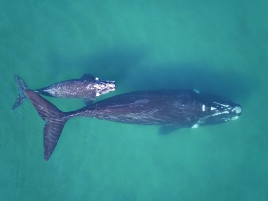 csm_Southern_right_whale_mother_claf_pair_in_clear_waters_Fredrik_Christiansen_c6dd927b9b