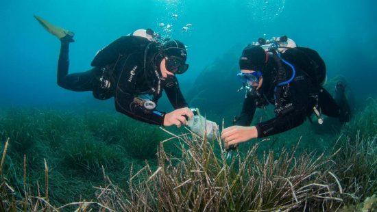 Wissenschaftliche Taucher sammeln Blätter des Neptungrases (Posidonia oceanica) in der Bucht von Calvi an der Französischen Forschungsstation STARESO auf Korsika.