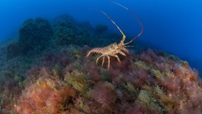 A Tristan Rock Lobster (Jasus tristani)  is seen sitting on one of Vema's summits, which is covered in algae, soft corals, sponges and bryozoans (moss animals).