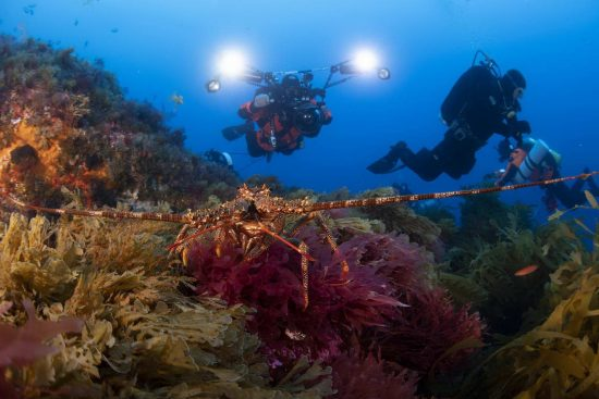 Imad (L, diver) and Sander (diver) observe a Tristan Rock Lobster (Jasus tristani) on one of Mount Vema's summits.