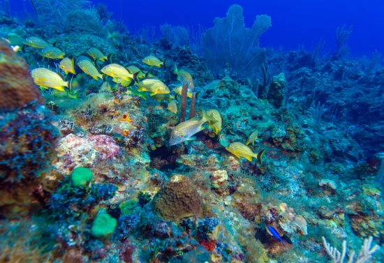 School of snappers, Cayo Largo, dive destinations in Cuba