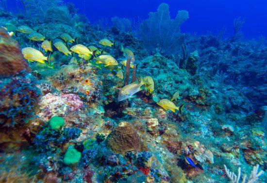 School of snappers, Cayo Largo, dive destinations in Cuba