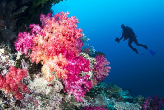Great dive destinations - Scuba diver swims by a beautiful tropical reef full of vibrant purple and orange soft corals.